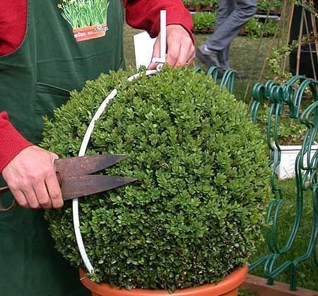 diy topiary projects for the garden buchsbaum schneiden gartenpflege und pflanzen. Black Bedroom Furniture Sets. Home Design Ideas