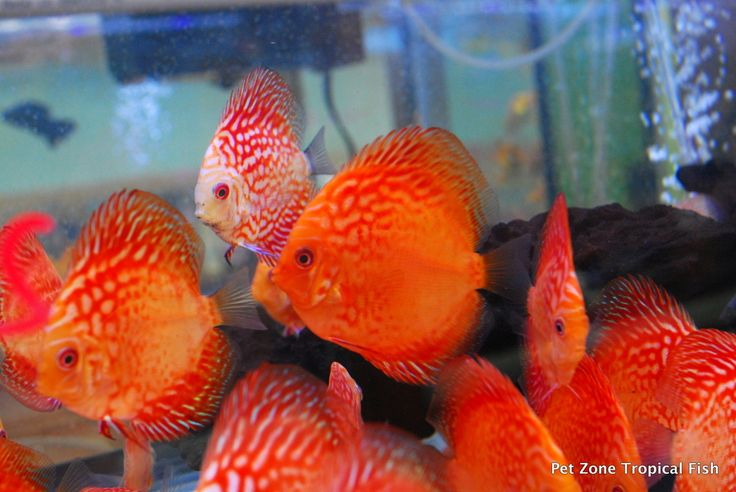 Checkerboard Pigeon Discus.  Also known as the Checkerboard Pigeon Blood Discus or simply just Pigeon Blood.  This strain of Discus has been rising in popularity and is full of bright colors and beauty!