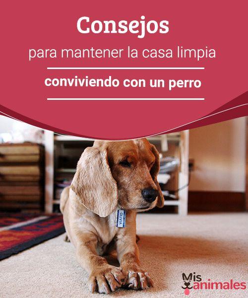 Consejos para mantener la casa limpia conviviendo con un perro Una de las cosas que más preocupa cuando estamos conviviendo con un perro es tener la casa limpia, te contamos cómo conseguirlo sin grandes complicaciones. #limpieza #casa #mascota #consejos