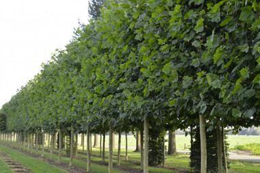 Platanus hispanica  Platanus hispanica, oder platanus x hispanica, ist ein um seine größe Blätter und schnelles Wachstum beliebter Spalierbaum, der viel Privatsphäre und Schutz verleiht.