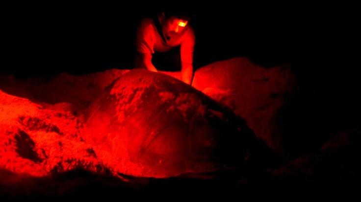Después de que terminan de desovar, las tortugas son medidas y registradas.