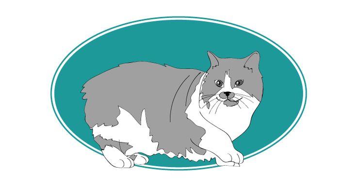 C'est sur l'île de Man (Mer d'Irlande) que le Cymric à été découvert. Il correspond à la famille à poil long du Manx. il est doux et très affectueux. Il peut vivre jusqu'à l'âge de 20 ans  et mesurer jusqu'à 35 cm. #chat #cat #angleterre #irlande #ile. Pour plus d'informations, rendez-vous sur http://www.assuropoil.fr/races-de-chats