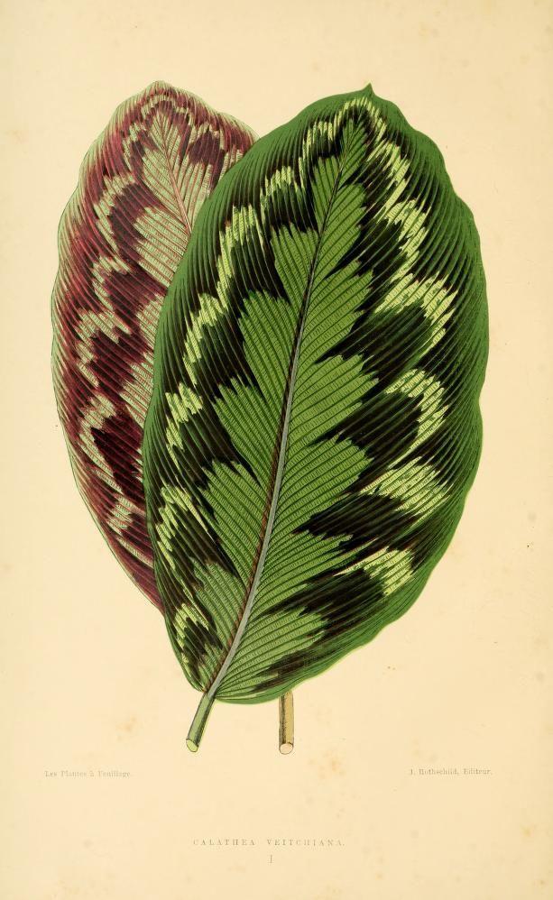 Calathea. Les plantes a feuillage coloré by Edward Joseph Lowe, 1867-70. Editor J. Rothschild, Paris. BHL