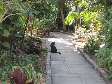 Cat on walkway. Ernest Hemmingway House, Key West.