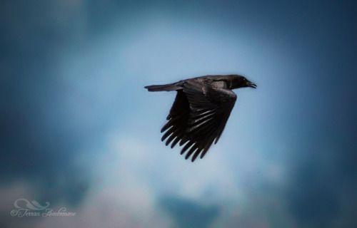 Crow in Cloudy Sky  http://www.terranambrosone.com/Birds/i-QG2bD2V #crow #bird #flight #sky #clouds #cloudy #nature #wildlife #photography