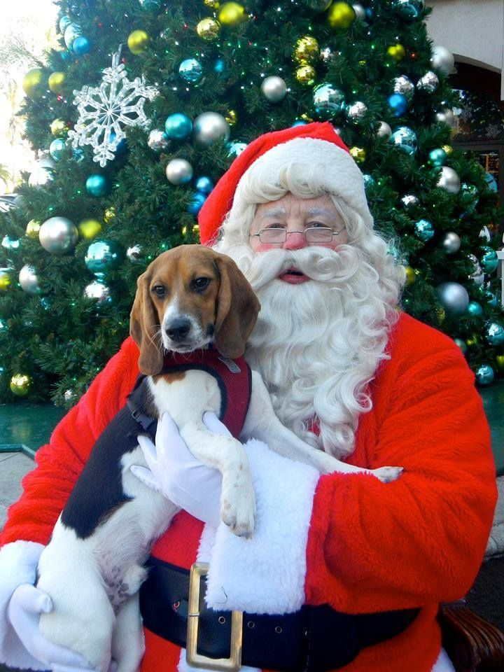 Leonardo da Vinci met Santa Claus! His wish this year is for freedom for all his brothers and sisters stuck in cages as laboratory test subjects! Beagle Freedom Project... BFP