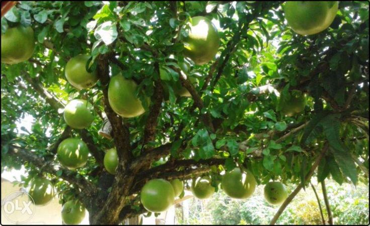 Backyard Garden With Calabash Tree : Growing Calabash Trees In Your Yard
