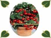 Cherry Domates Tohumu Paket http://www.fidanistanbul.com/urun/1016_cherry-domates-tohumu-paket.html Fidan Satışı, Fide Satışı, internetten Fidan Siparişi, Bodur Aşılı Sertifikalı Meyve Fidanı Süs Bitkileri,Ağaç,Bitki,Çiçek,Çalı,Fide,tohum,toprak