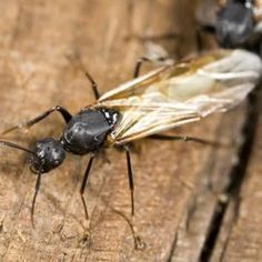 A few winged ants may be your first warning of an infestation.
