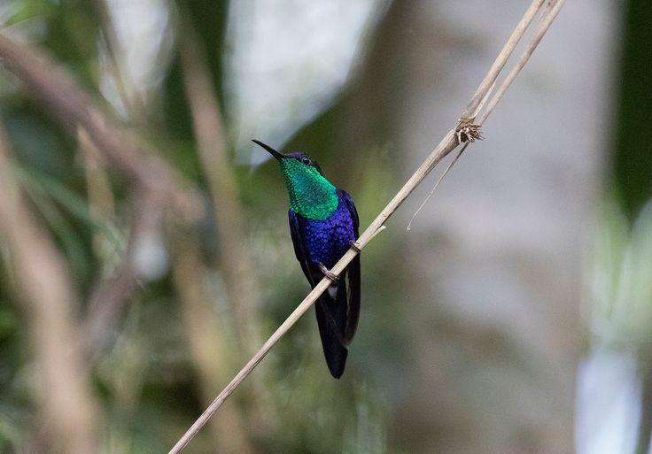 Hummingbird - Hummingbird in Colombia.