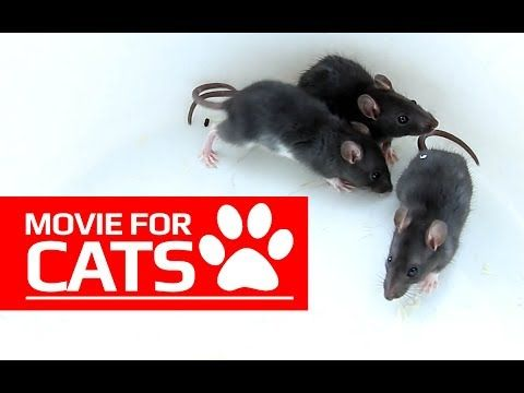 MOVIE FOR CATS - BLACK RATS 1 HOUR VERSION (ENTERTAINMENT VIDEOS FOR CATS TO WATCH) - YouTube