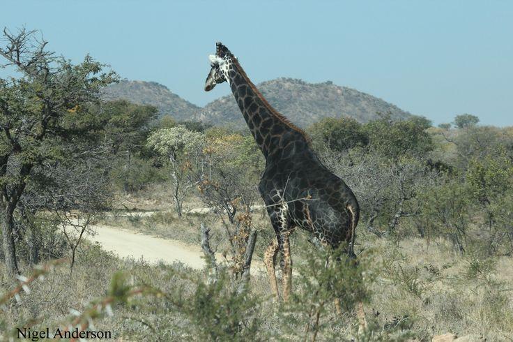 Black male giraffe