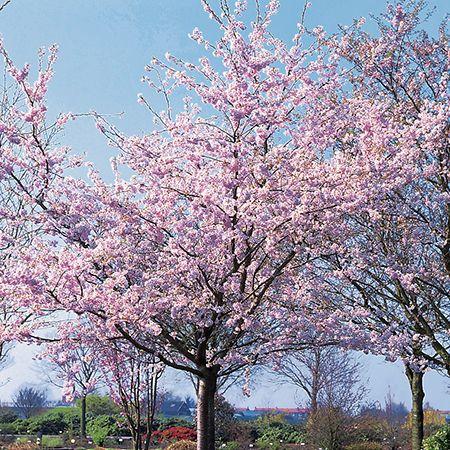 5ft Accolade Cherry Blossom Tree 9l Pot 47 99 Cherry Blossom Tree Blossom Trees Deciduous Trees