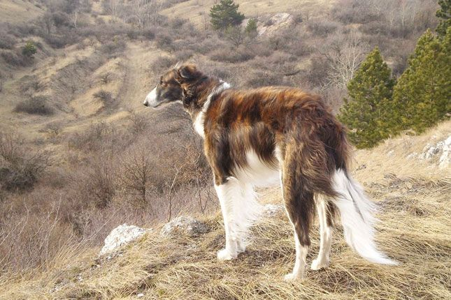 Borzoi | ... / Dog Breeds / Puppies For Sale / Borzoi Puppies & Breed Information