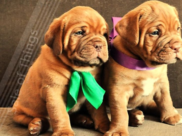 how to train a french mastiff puppy