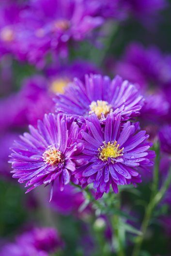 Growing Asters Planting Caring For These Fall Flowers Blumen