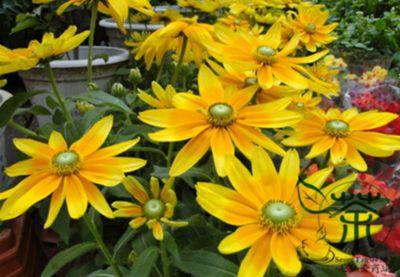 las flores mas lindas del mundo Rudbeckia bicolor