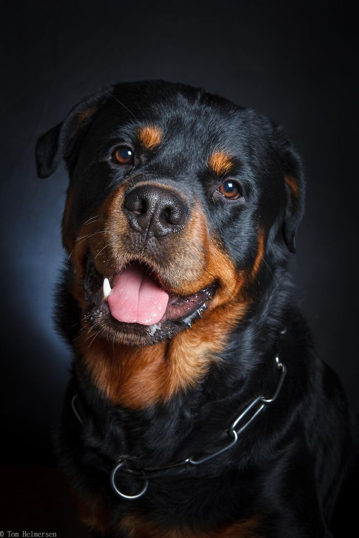 Happy birthday Leo two years - Happy birthday Leo. as the happy Rottweiler he is, he was ready for a birthday portrait