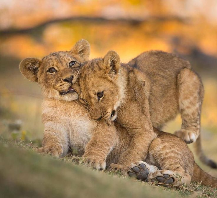 What are the chances these young lion cubs will survive into adulthood ?