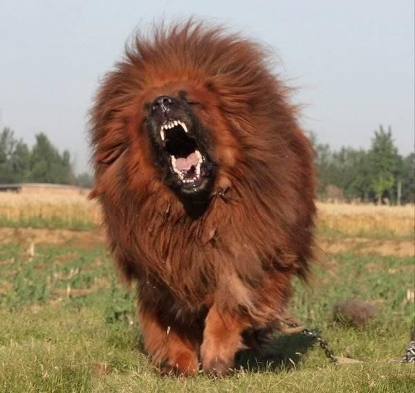 Tibetan Mastiff. Is it a ferocious lion? Is it a precious fluff ball guardian angel?