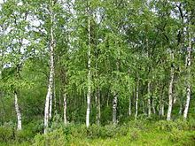 Betula pendula - Silver birch. A native, graceful tree with an airy, semi-transparent crown. Branches arch and then droop at the ends to give a soft, gently weeping effect. Diamond shaped leaves provide an uplifting dappled golden light in autumn. Attractive white bark usually develops with age. Hardy and thrives in most soils but susceptible to drought. 3-4m tall at 10 years. A shallow rooting tree. 15-25m.