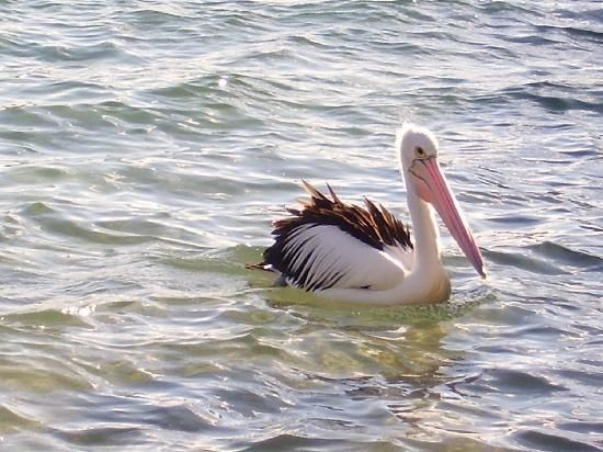 One of our lovely pelicans at Ettalong Beach