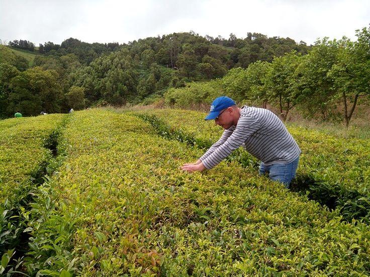 Primer día de intenso trabajo en la plantación de Cha Gorreana