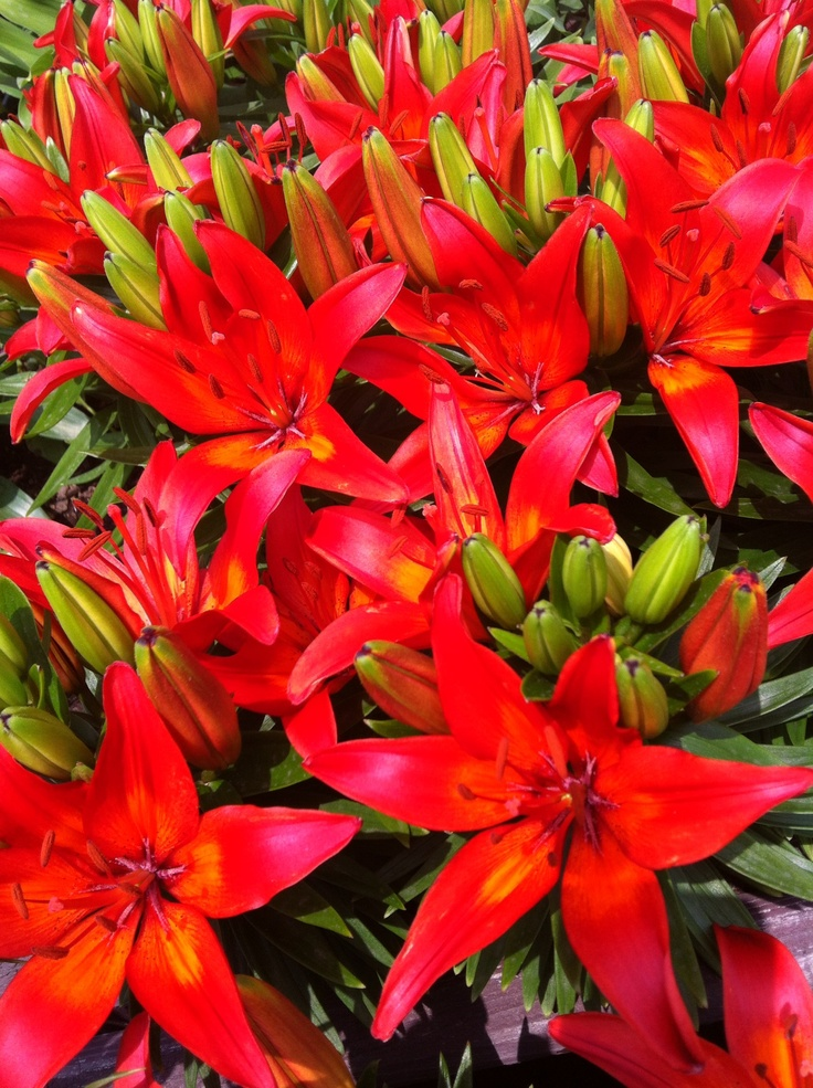 Beautiful !  Lily !! Red !!!