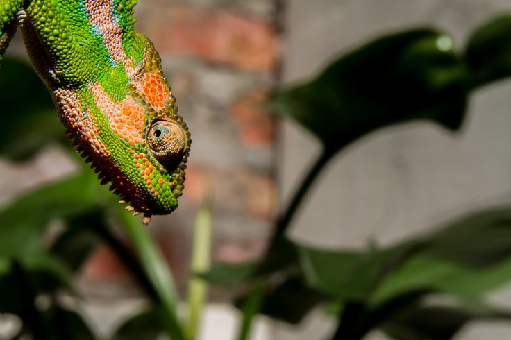 Colourful curious chameleon