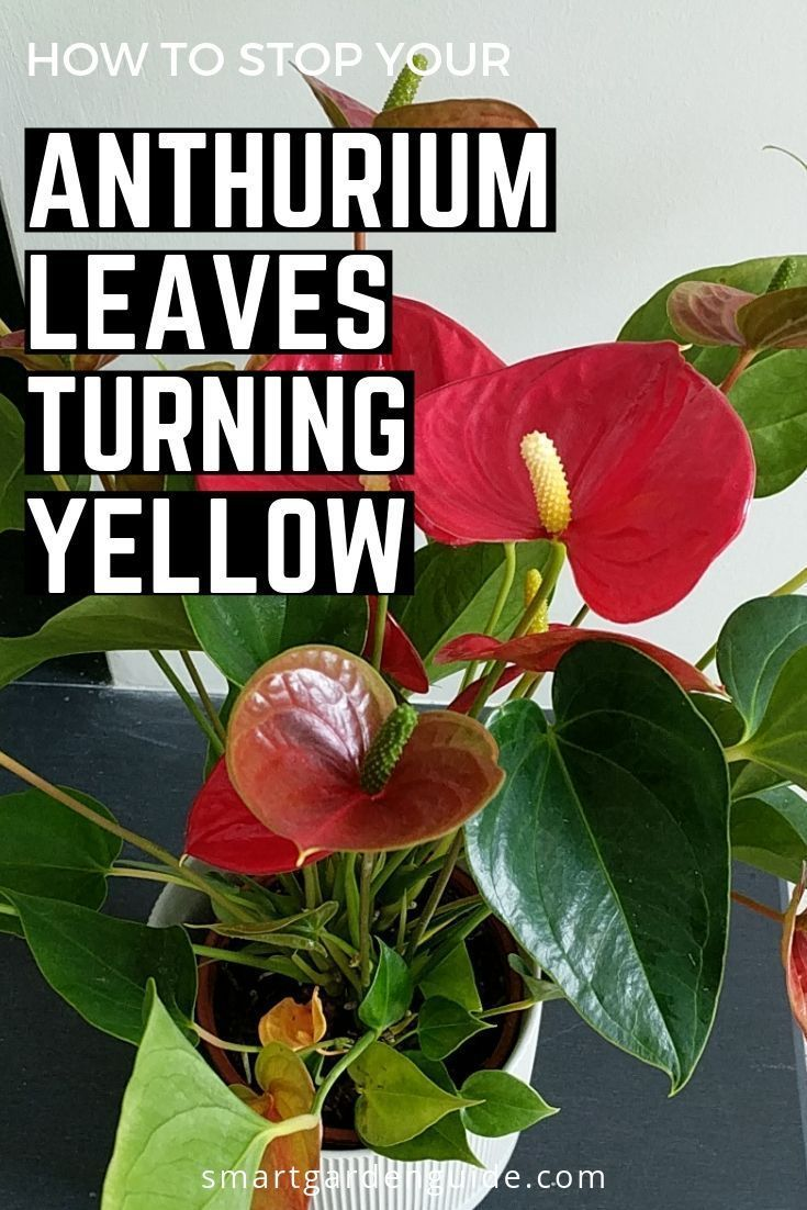 Anthurium Care Tips How To Stop Your Anthurium Getting Yellow Leaves And Flowers And What To Do If It Happens Hous Anthurium Anthurium Care House Plant Care