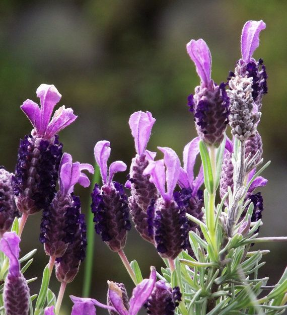 Lavendar Flower / Scenic New Zealand / Original by KarenLawsonArt