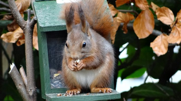 Eekhoorn - Zoogdieren (bever, vos, muis) - Eekhoorn