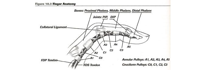 Pulleys Of Hand : Finger anatomy a pulley common climbing injury