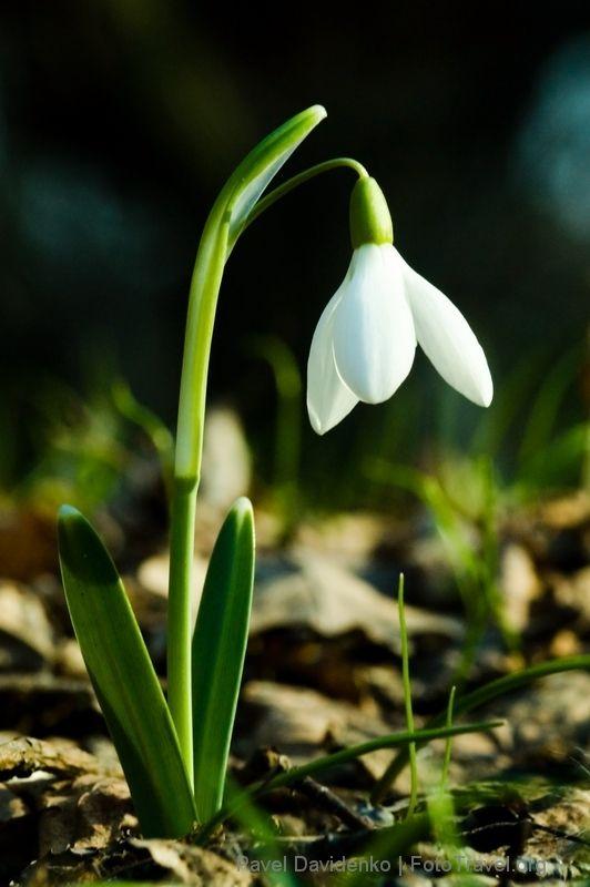 Картинка цветка подснежник
