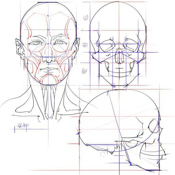 анатомия лица человека для художников картинки уже