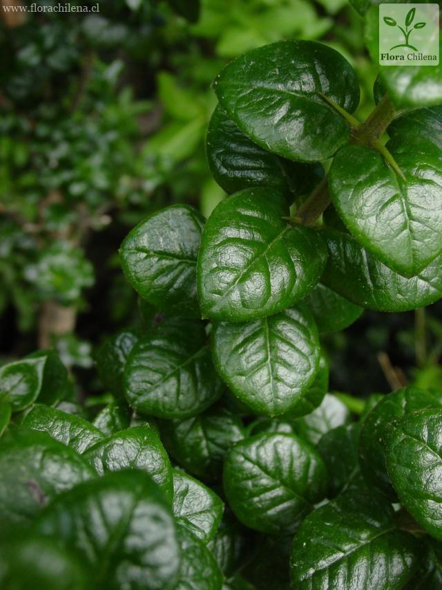 Rhaphithamnus spinosus | Especie | Enciclopedia de la Flora Chilena