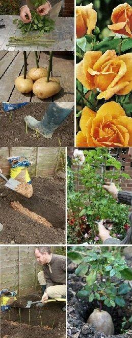 Taking Rose Cuttings