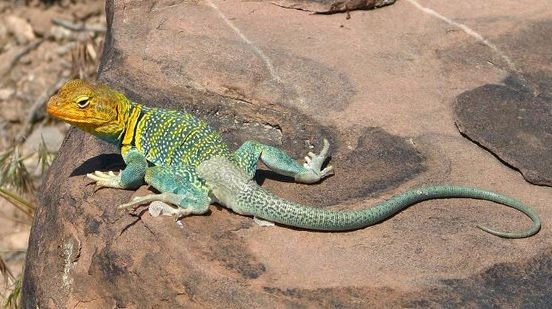 lizards | Types of Lizards | Animal Pictures and Facts | FactZoo.com
