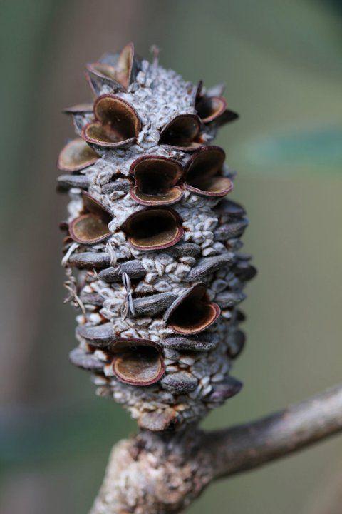 Banksia cone Banksia