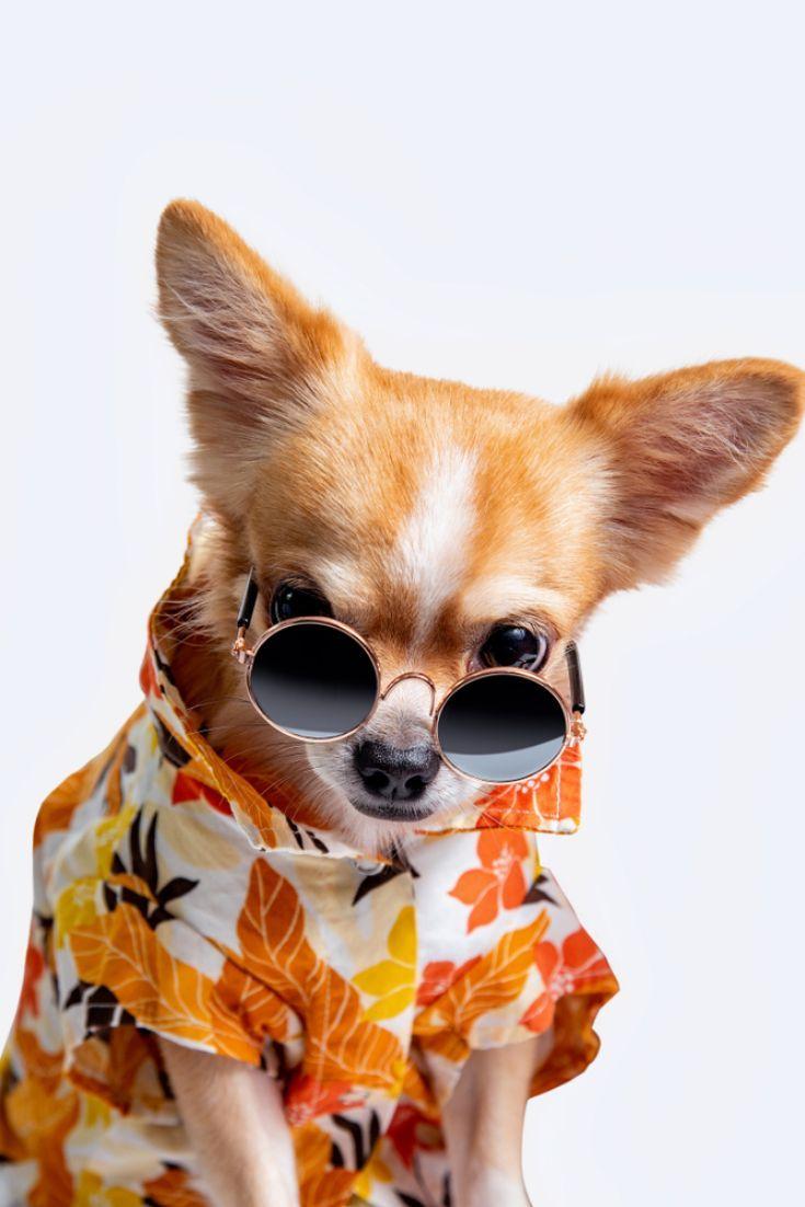 Chihuahuahund Tragt Ein Hemd In Frischer Farbe Setzt Schwarze