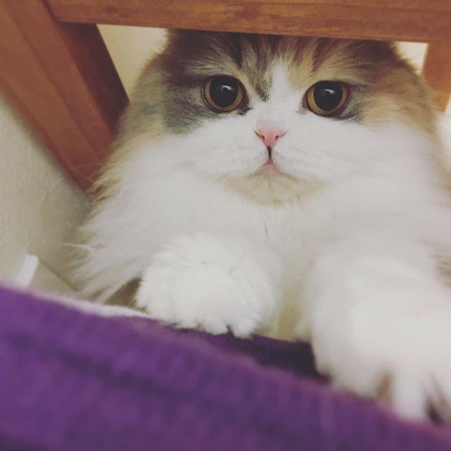 我が家の愛猫フータン🐈✨ 寝るよ🌙言うてるのに… ウチの子が可愛くて眠れない夜 😻💕 #猫 #愛猫 #cat #スコティッシュフォールド #可愛い #kawaii #instagram #インスタグラム #ねこのきもち #ねこ部 #肉球 #ダイリュートキャリコ