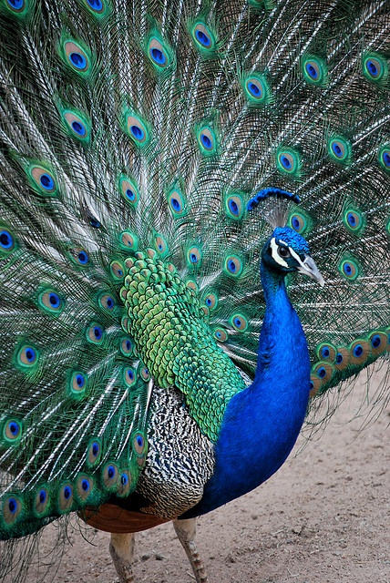 My aunt is painting a peacock picture for my house so I'm trying to find a great photo to send her for inspiration. Love the framing of this one.