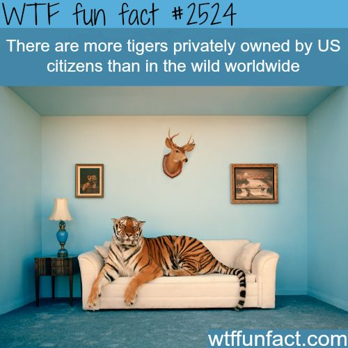 Privately owned tigers - WTF fun facts. THIS IS JUST CRUEL! THEY ARE WILD CREATURES THEY SHOULD BE IN THE WILD! U WANT A PET? GO GET A FRIGGIN DOG!!!