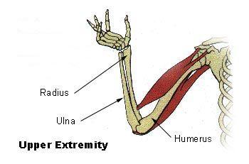 Below are detailed diagrams and information regarding the arm bones (upper arm bones and forearm bones). Learn the names of the arm bones and arm anatomy trough the arm bones diagram. http://www.learnbones.com/arm-bones-anatomy/