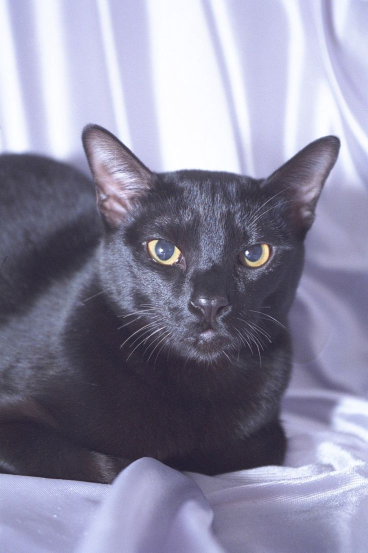 Bombay cat What a beautiful cat. Incensewoman