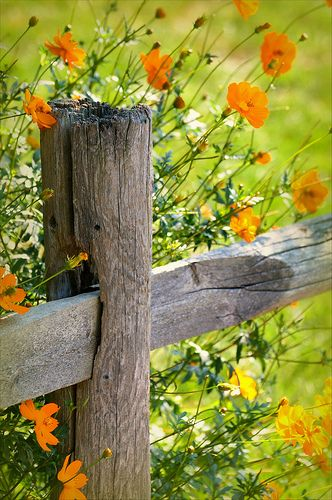 summer..: Summer Flowers, Wood Fence, Wildflowers, Color, Wooden Fence, Gardens, Old Wood, Orange Flowers, Wild Flowers