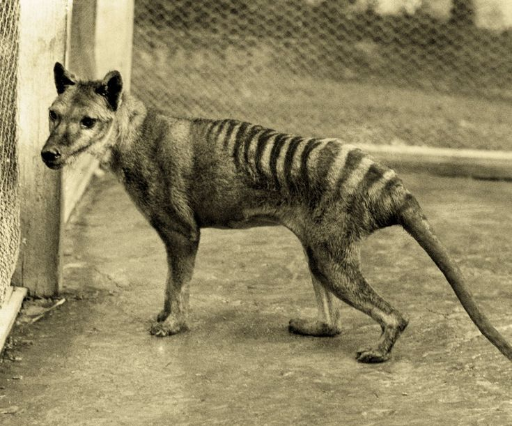 Thylacine (Thylacinus cynocephalus), commonly known as the Tasmanian Tiger or Tasmanian Wolf. The world's largest carnivorous marsupial once common throughout Australia and Papua New Guinea, is believed by many to have been hunted to extinction by the early European settlers of Tasmania, its last stronghold.  The last known Thylacine died in the Hobart Zoo on September 7, 1936.