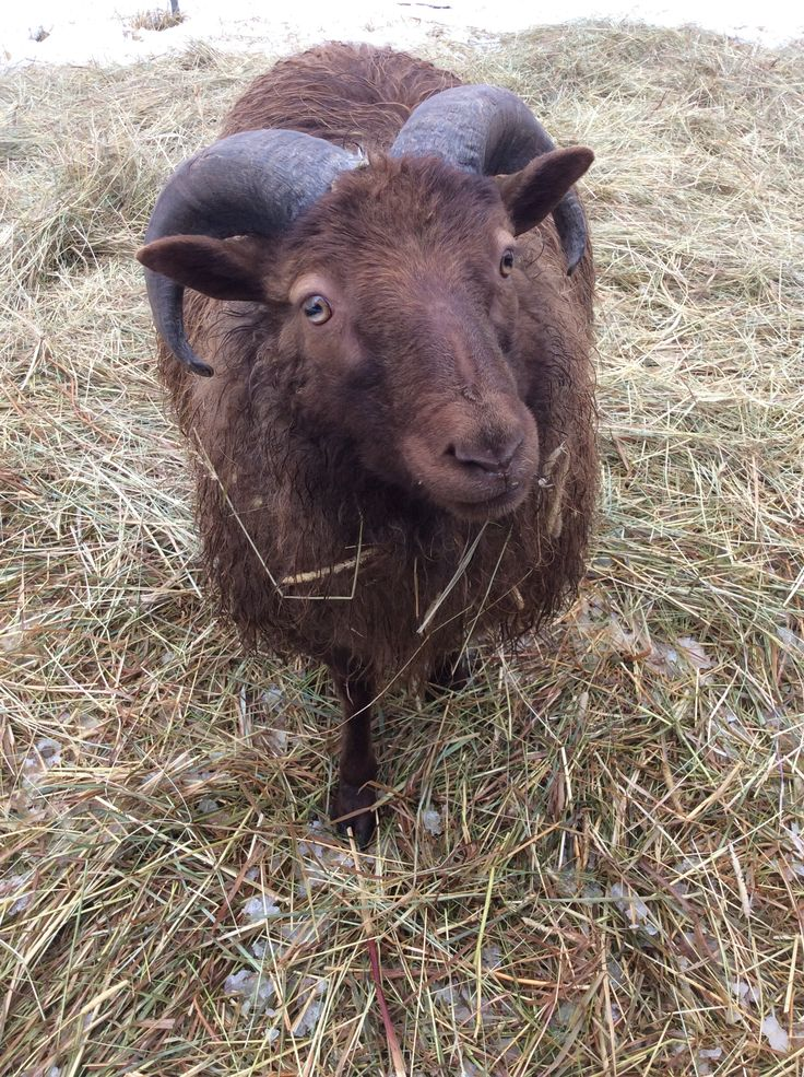 Beorn is coming into his own now and giving our other ram some competition!