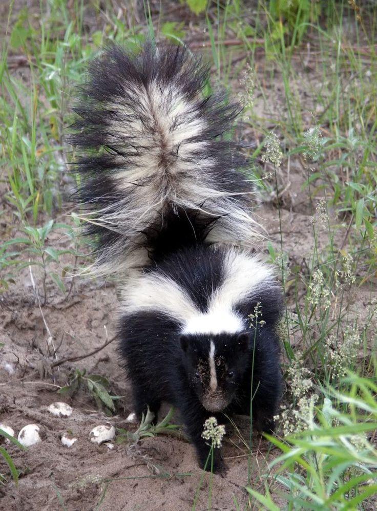 Best skunk skunk eating eggs