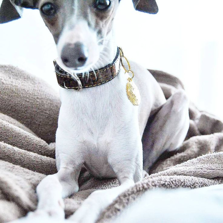 Plated gold tag charms collar dogs cats pet Italian greyhound